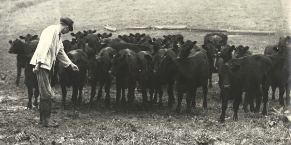 Ernest Noyce with cattle on Drayton Meadow