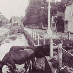 Cows drinking in High Street, 1922. The cows belonged to David Coles who had a farm yard and shop.