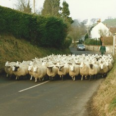 Sheep in High Street