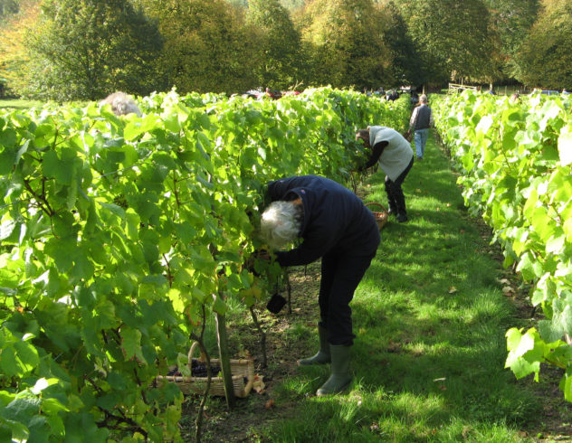 Pickeers in the Berrygarden vineyard at The Court House, October 2013