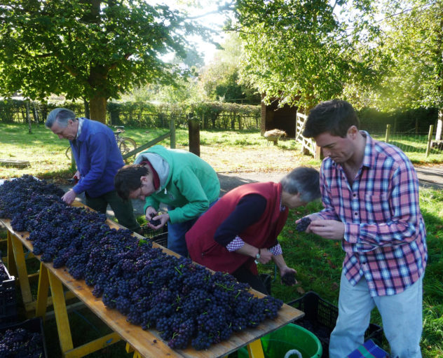 The Bartlett family sort through the grapes as they are picked