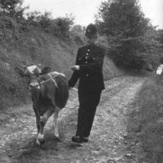 PC Thorne brings the calf home