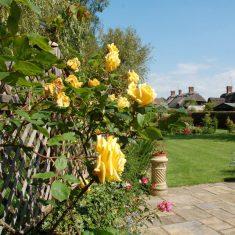 Hazel's roses