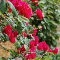 Roses at Bottle Cottage