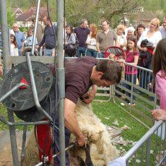 George Atkinson supervises sheep shearing